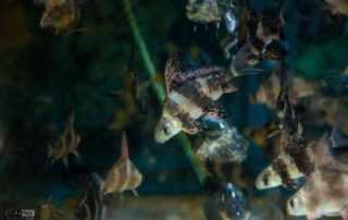 דג עטלף סיני