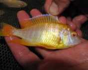 רביית דגי נוי