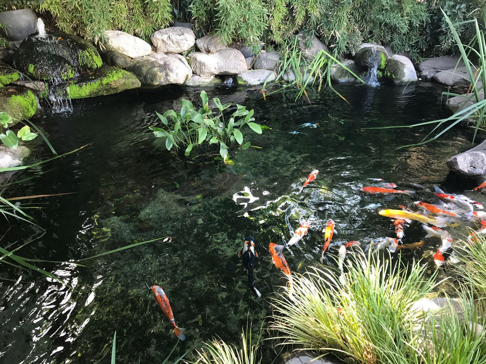 חלק מהבריכה, דגי קוי ומסלעה מאחור