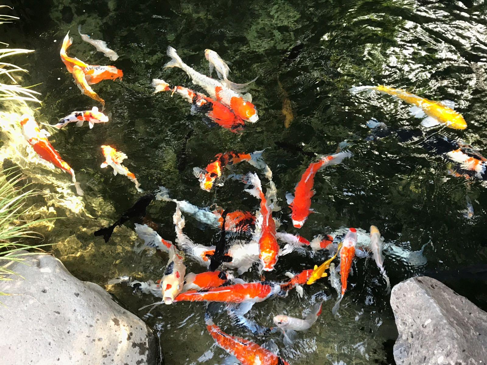 דגי קוי ענקיים שוחים במים הצלולים
