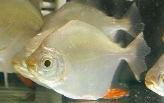 טטרה רד הוק - תמונת תקריב של דג בודד