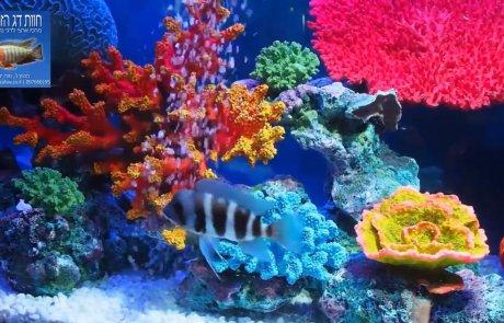 צילום מתוך הסרטון - אקווריום עם אלמוגים מלאכותיים ודג פרונטוזה כחול