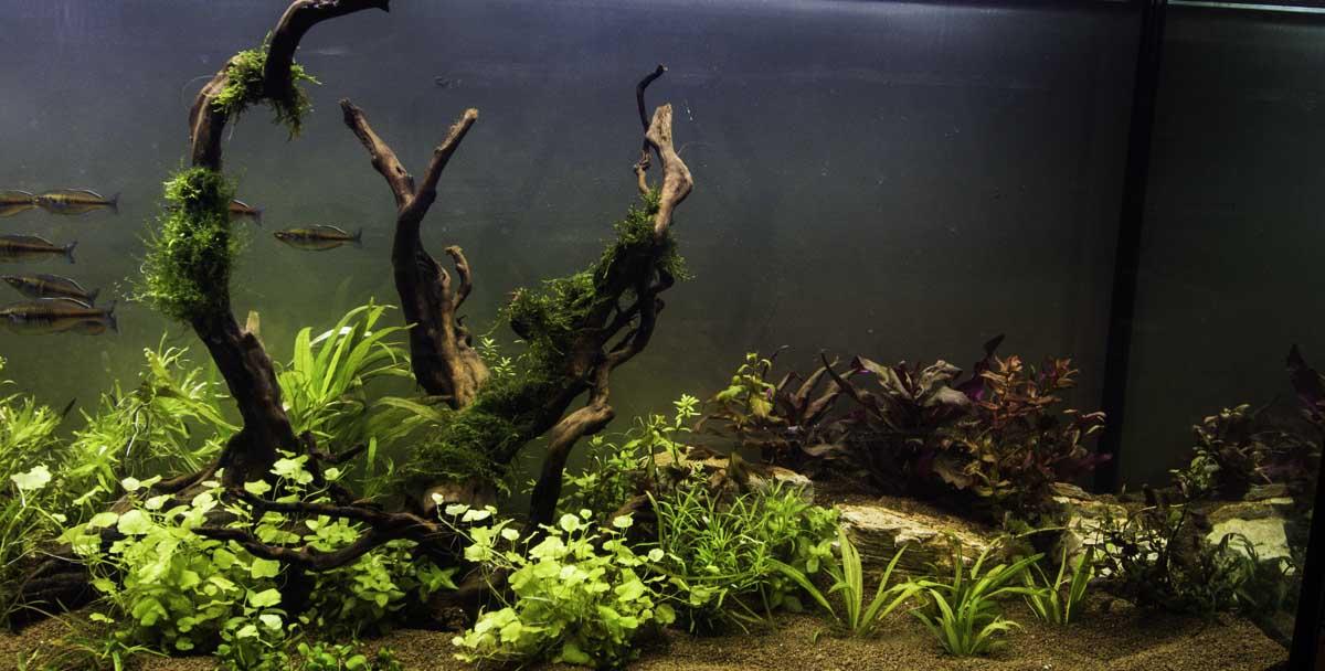 אקווריום 2 מטר - צמחיה ודגי להקה - צילום של דקורציה באקווריום