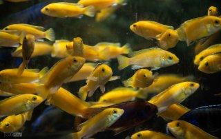 ציקליד קורלאוס - תמונה מאקווריום תצוגה בחוות דג הזהב