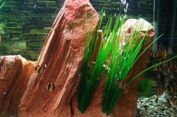 סצנה מתוך האקווריום - צמחיה וסלעים