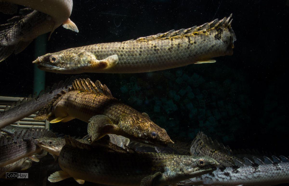 דגי רב סנפיר באקווריום בחווה